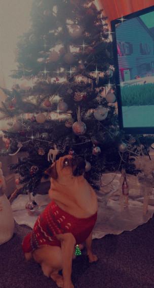91. Awe pug milo feeling festive