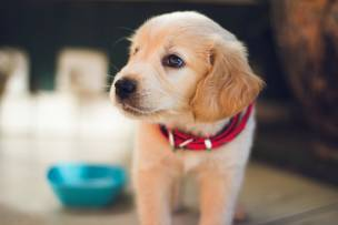 Main image for Guide dog carers wanted