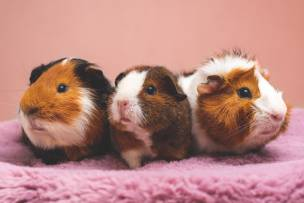 Main image for Rise in abandoned Guinea Pigs seen by charity