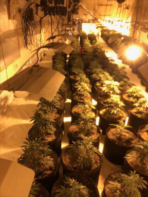 Main image for Cannabis cultivation in town centre seized