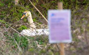 Main image for Plea to respect nesting swans